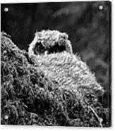 Baby Owl 3 Acrylic Print