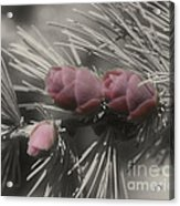 Baby Pine Cones In Partial Color Acrylic Print
