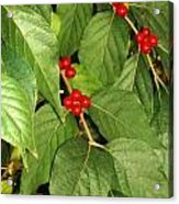 Baby Red Berries Acrylic Print