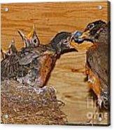 Baby Robins Feeding  An5141-14 Acrylic Print