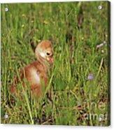 Baby Sandhill Crane Chick Acrylic Print