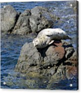Baby Sea Lion On Rock At San Juan Island Acrylic Print
