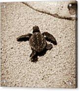 Baby Sea Turtle Acrylic Print