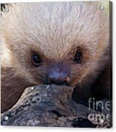 Baby Sloth 2 Acrylic Print by Heiko Koehrer-Wagner