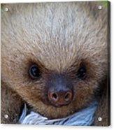 Baby Sloth Acrylic Print by Heiko Koehrer-Wagner