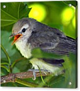 Baby Sparrow In The Maple Tree Acrylic Print by Karon Melillo DeVega