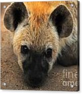 Baby Spotted Hyena Acrylic Print