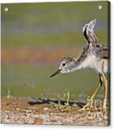 Baby Stilt Stretching Its Wings Acrylic Print
