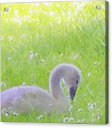 Baby Swans Enjoy A Summer Day Acrylic Print