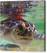 Baby Turtle Acrylic Print by Carey Chen