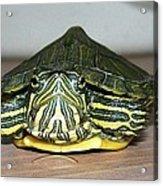 Baby Turtle Straight On Acrylic Print