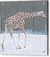 Baby Walk Acrylic Print