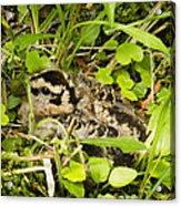 Baby Woodcock Acrylic Print