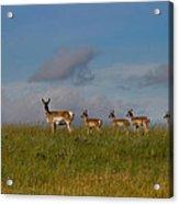 Babysitting - Antelope - Johnson County - Wyoming Acrylic Print