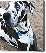 Bacchus The Great Dane Acrylic Print
