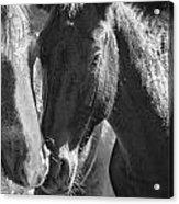 Bachelor Stallions - Pryor Mustangs - Bw Acrylic Print