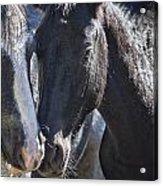 Bachelor Stallions - Pryor Mustangs Acrylic Print