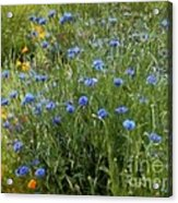 Bachelor's Meadow Acrylic Print