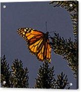 Back Lit Monarch Acrylic Print