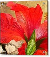 Back Of A Red Hibiscus Flower Against Stone Acrylic Print