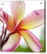 Back Of Plumeria Flower Acrylic Print