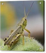 Back Side View Of Green Grasshopper....   # Acrylic Print