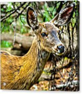 Back-tail Doe Acrylic Print