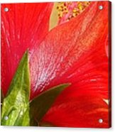 Back View Of A Beautiful Bright Red Hibiscus Flower Acrylic Print