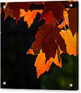 Backlit Autumn Maple Leaves Acrylic Print