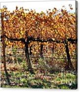 Backlit Autumn Vineyard Acrylic Print