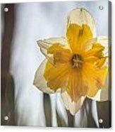 Backlit Beauty Acrylic Print
