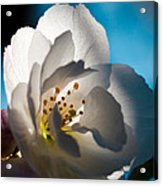 Backlit Cherry Blossom Acrylic Print