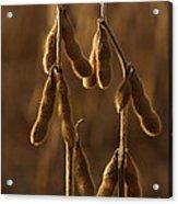 Backlit Edamame In Pennsylvania Field Acrylic Print by Anna Lisa Yoder