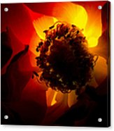Backlit Flower Acrylic Print by Fabrizio Troiani