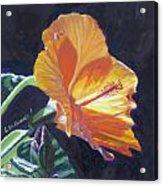 Backlit Hibiscus Acrylic Print