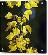 Backlit Leaves Of Autumn Acrylic Print
