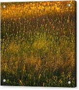 Backlit Meadow Grasses Acrylic Print