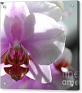 Backlit Orchid Acrylic Print