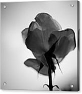 Backlit Rose Black And White Acrylic Print