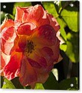 Backlit  Rose Acrylic Print