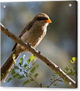 Backlit Yellow Billed Shrike Acrylic Print