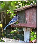 Backyard Bird Feeder Acrylic Print