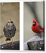 Backyard Bird Set Acrylic Print