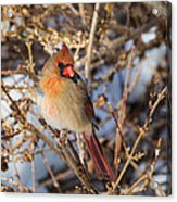 Backyard Birds Female Nothern Cardinal Square Acrylic Print