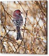 Backyard Birds Male House Finch Acrylic Print