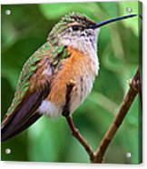 Backyard Broad Tailed Hummingbird Acrylic Print