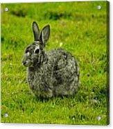 Backyard Bunny In Black White And Green Acrylic Print