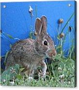 Backyard Bunny Acrylic Print