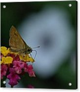 Backyard Butterfly Acrylic Print