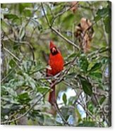 Backyard Cardinal In Tree Acrylic Print